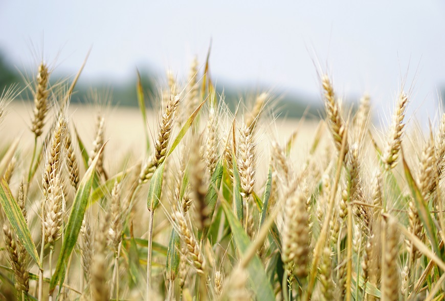 Targeting accelerated wheat production in Nigeria